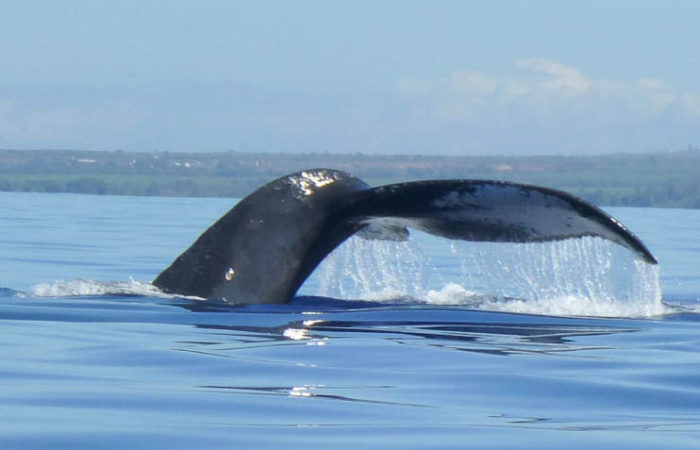 Four Winds II Maui Humpback Whale Fluke 900