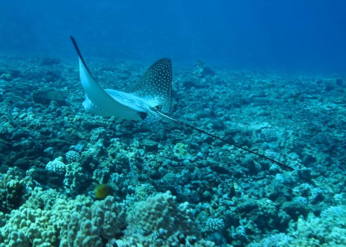 Four Winds II Maui Molokini Crater Snorkel Tour Spotted Eagle Ray By Jessica R.