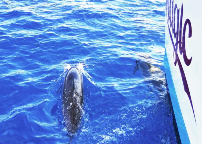 MauiMagic Dolphins 042