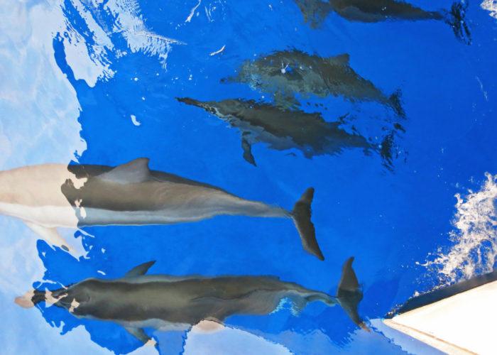 MauiMagic Dolphins 111