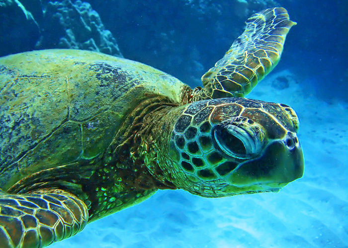 MauiMagic Turtles 011