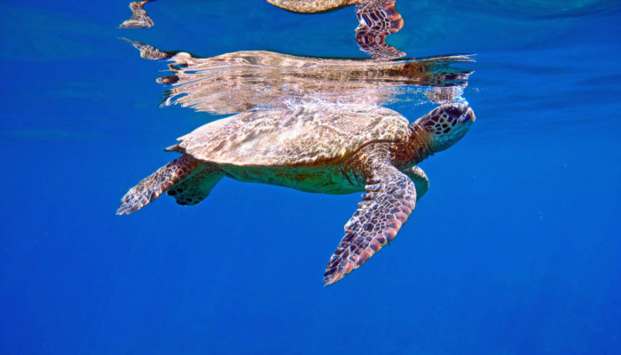 MauiMagic_Turtles_028
