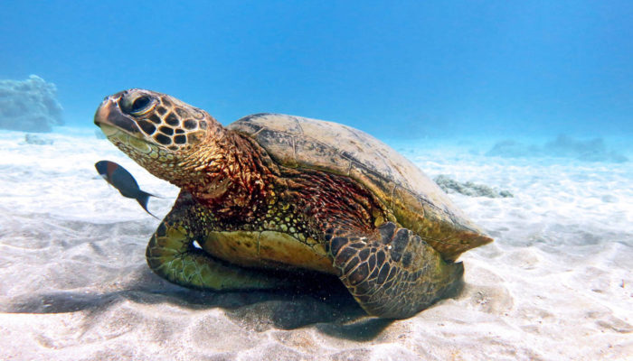 MauiMagic_Turtles_048