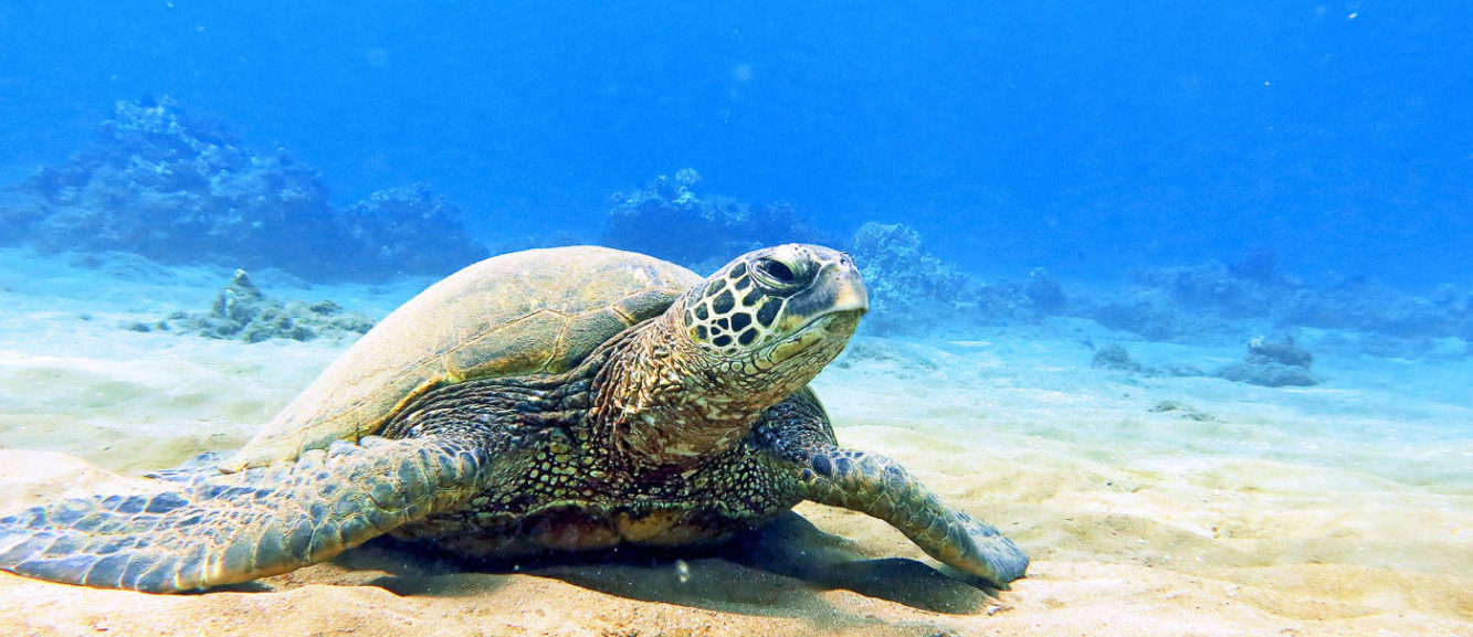 The Magic Turtle of Maui