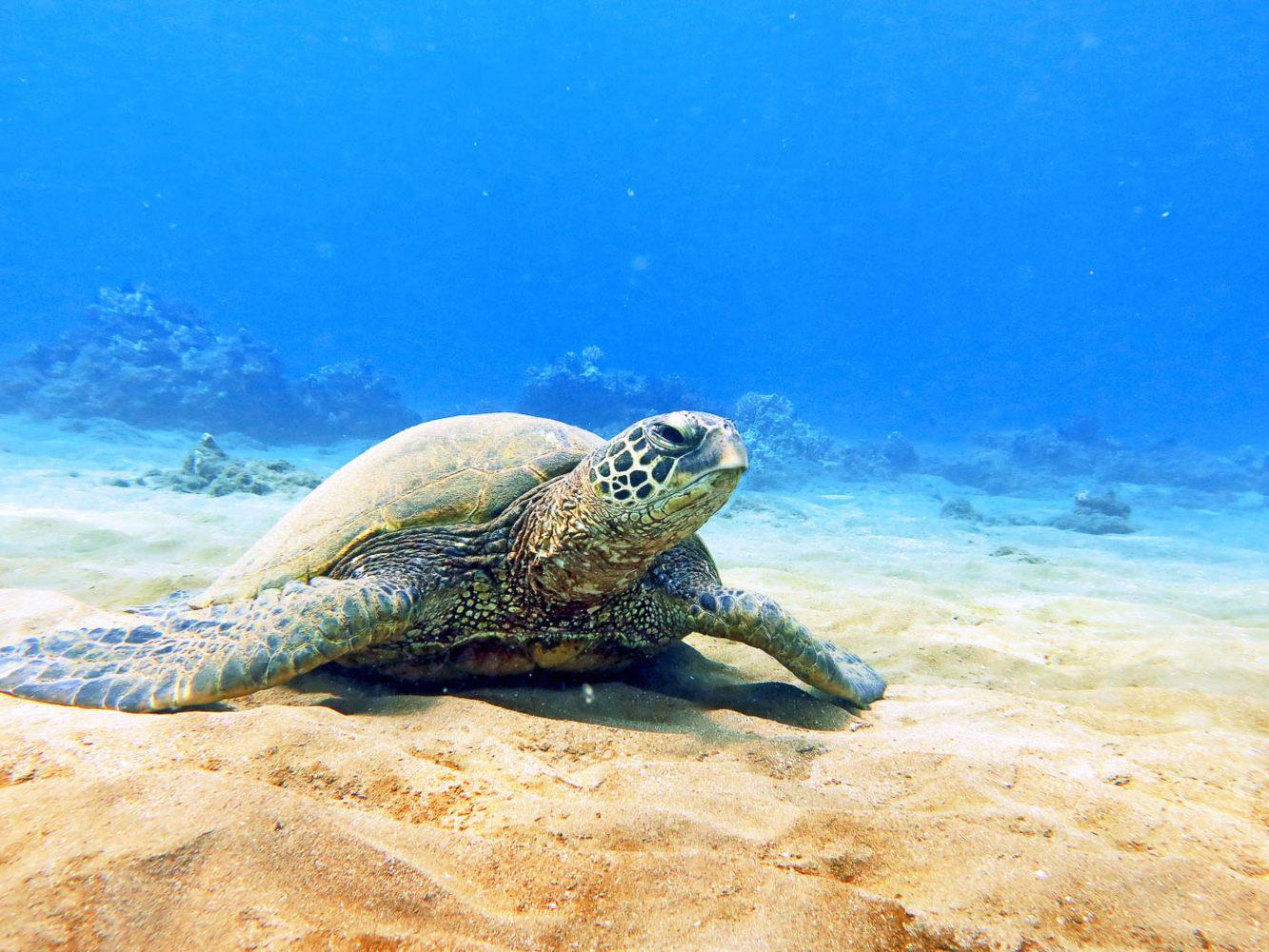 hawaiian green sea turtles maui magic snorkel
