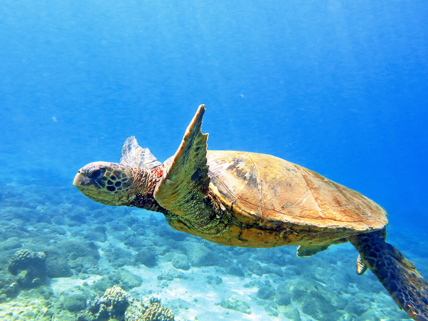 hawaiian green sea turtles - maui magic snorkel