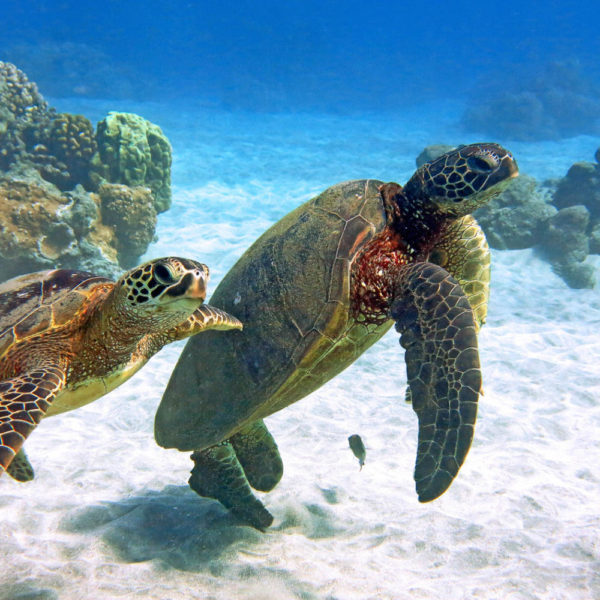 Snorkel With Turtles