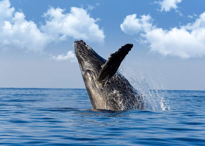 Whale_Breach_Maui