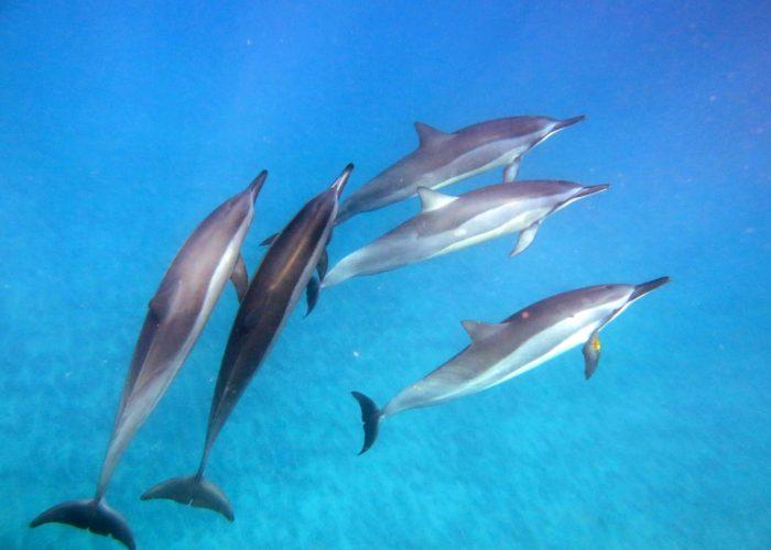 Dolphin Pict 1